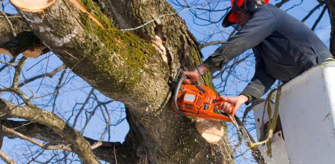 Gminy ratują stare drzewa przed wycinką. Muszą zdążyć przed mieszkańcami