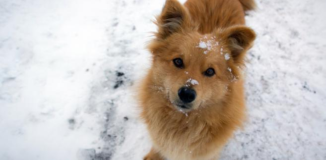 pies na śniegu