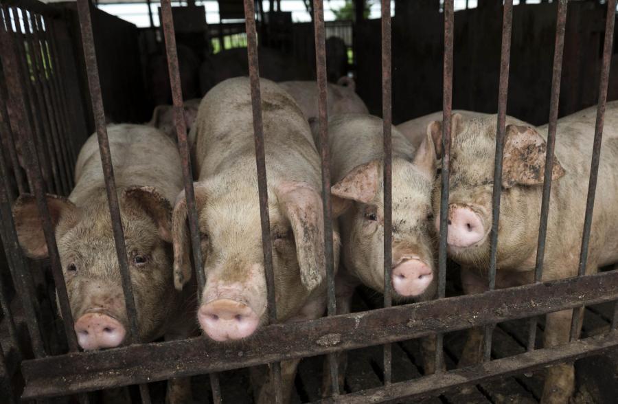 Przewiduje też, że produkcja wieprzowiny spadnie o ok. 10 proc,