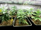 Giełdowy tydzień z marihuaną, czyli jak Coca-cola chciała kupić cannabis
