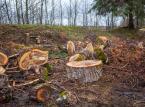 Koszty usunięcia drzew: Wycięcie cisu droższe niż topoli